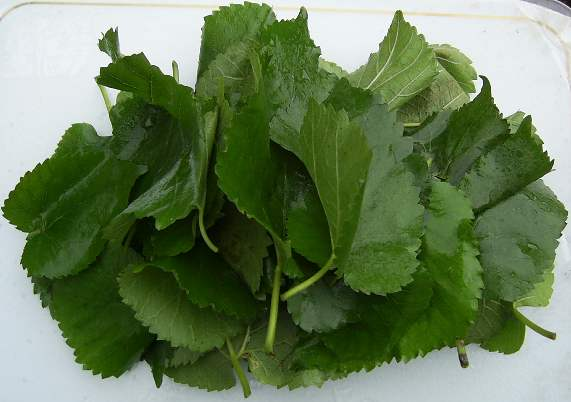 Produce fresh washed mulberry leaves